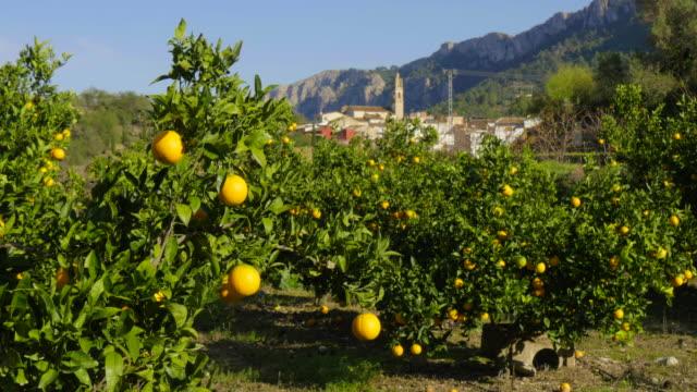 tilt up, orange orchard in front of village of Benissivà with church steeple