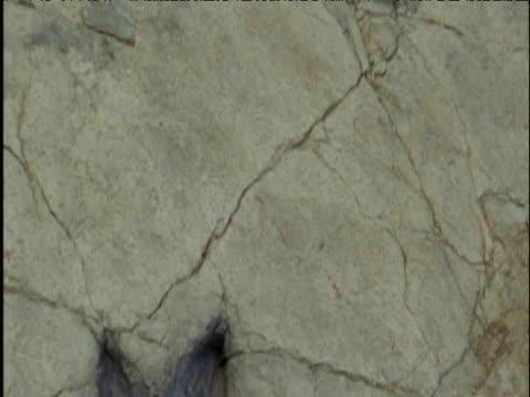 Tilt up over line of dinosaur footprints