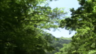 Tilt up over new spring growth in forest as sun filters through foliage, sunbeam, Japan