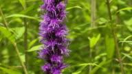 Tilt up over purple filamentous flowers