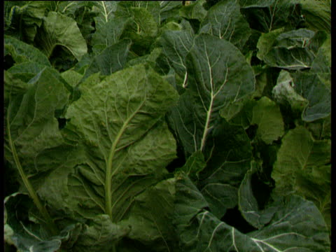Tilt up past cauliflower leaves to field with tractor and harvester in background