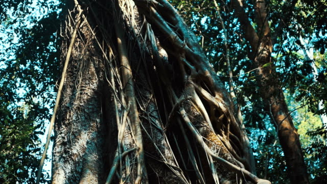 Tilt up shot of banyan tree in the forest