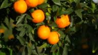tilt up, sunlight on ripe oranges