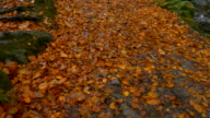 Tilt Up,Autumn forest view,Northern Ireland
