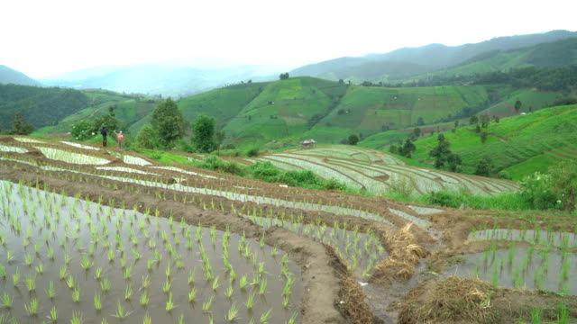 Tilt view from top of delighted rice terrace just harvest