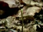 Time lapse - Acorn germinating, tilt up as seedling grows, UK