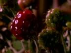Time lapse - BCU Blackberries ripening, England