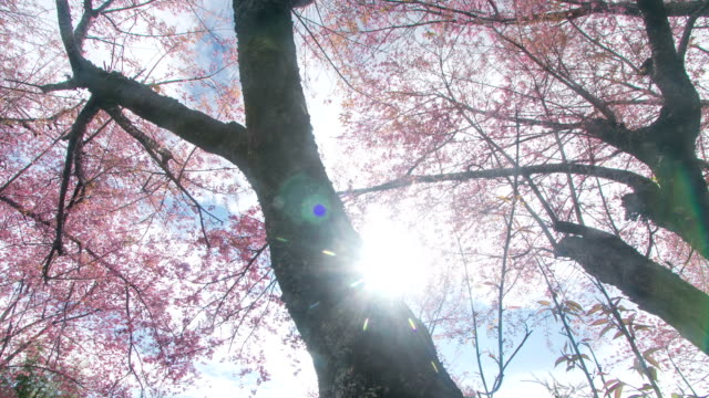 HD Time lapse: Cherry blossom under sun ray in spring
