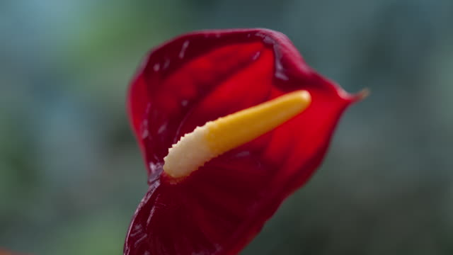 Time Lapse close up of anthurium Growing