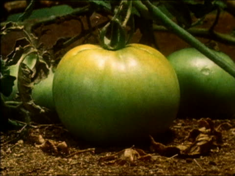 1983 time lapse close up tomato ripening on vine, turning from green to red