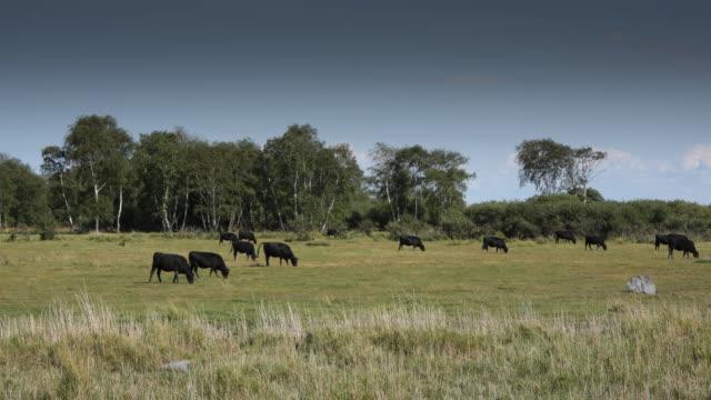 Zeitraffer: Kühe Essen
