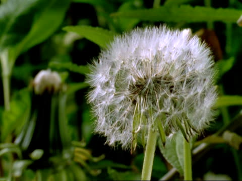Time lapse - CU Dandelion (Taraxacum officinale) heads opening and wilting, England