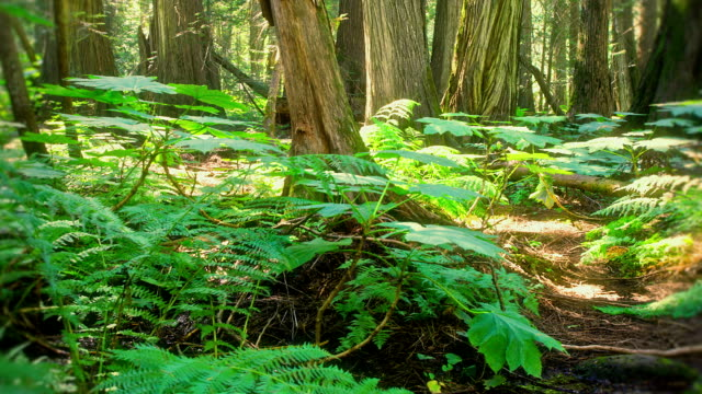 Time lapse Dolly movement in old Growth forest