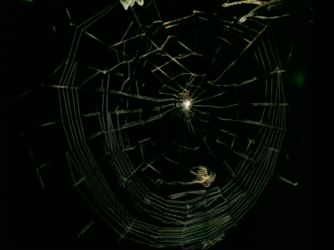 MS time lapse Garden Spider, Araneus diadematus, spins orb web
