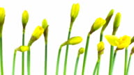 Time Lapse: Narcissus