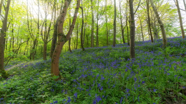 KENT: Time Lapse of a Blue Bells field