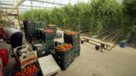 Time lapse of tomatoes being sorted in green crates in a large greenhouse