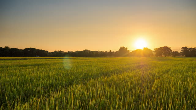 Time lapse : Panning shot rice field sunset in Chiang mai, Thailand.