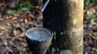 Time lapse: Rubber Latex from trees