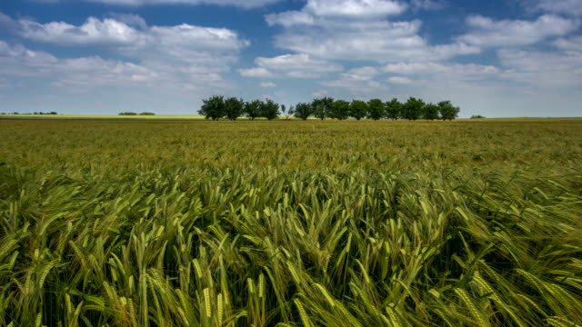 Time lapse - Spring Wheat