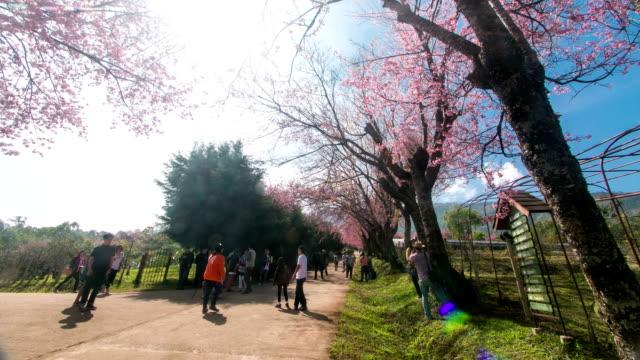 Time lapse: tourist walk on the road with spring Sakura