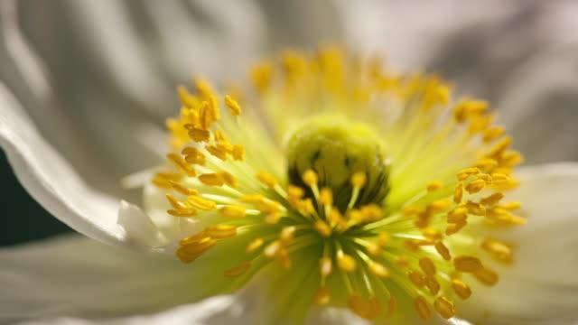 Time Lapse - White Poppy Stamen