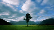 Time lapse wide shot lone Kahikatia tree in field near Fox Glacier / South Island, New Zealand