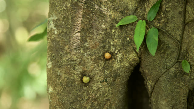 Timelapse ants (Formicidae) haul fruit up tree trunk in forest, Megatha, Myanmar