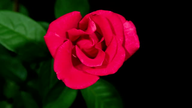 HD Time-lapse : Blooming Red Rose