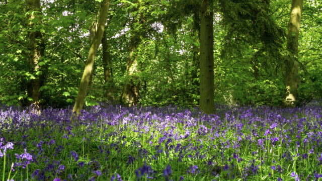 Timelapse bluebell (Hyacinthoides non-scripta) flowers in Spring woodland, UK