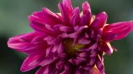 Timelapse Flowers