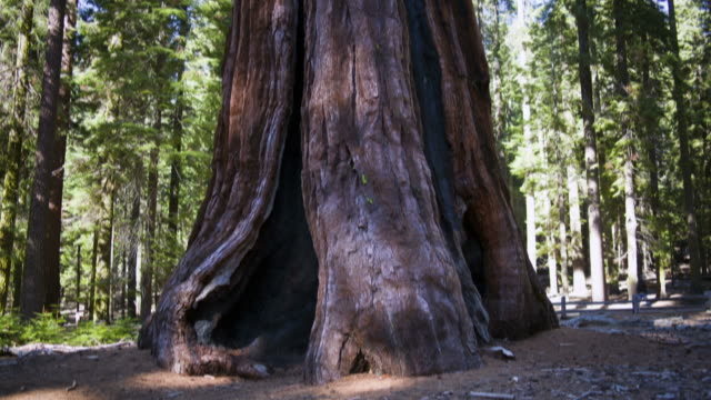 Time-Lapse in Yosemite National Park of a large sequoia in Mariposa Grove.