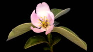 HD timelapse of an Quince tree flower growing of a black background. Blooming flower on chroma key background, cut out background