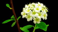 HD timelapse of an Thornapple tree flower growing of a black background. Blooming flower of Crataegus.