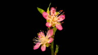 HD timelapse of an vineyard peach fruit tree flower growing of a black background. Blooming flower on chroma key background, cut out background