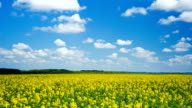 Timelapse of blooming canola under a blue sky with clouds
