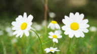 Timelapse of daisies