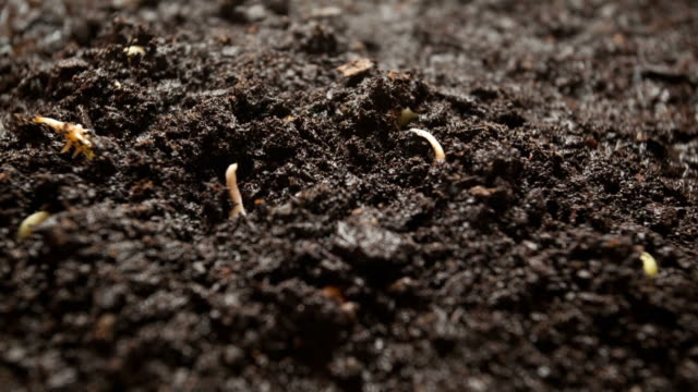 Time-Lapse of germinating plant