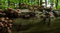 Timelapse of mushrooms growing on old tree trunk