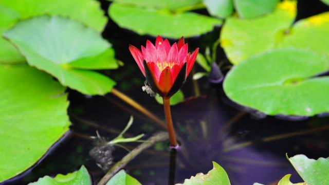 Timelapse von Orange lotus mit pupa schließen corolla