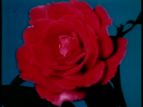 Timelapse of red rose goes from a blossom into full bloom /