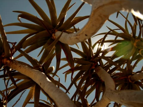 Timelapse Quiver tree (Aloe dichotoma), looking up through branches, sun passing, Augrabies Falls National Park, Kalahari, South Africa