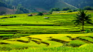 Time-lapse: Rice Paddy Fields in Harvest Season