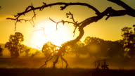 Yellow hues in sky and landscape as sun rises low in sky and big on horizon seen across paddock and gum trees with tree branch silhouette in...