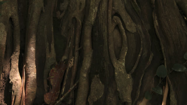Timelapse shadows shift over rainforest floor and fig roots, Megatha, Myanmar