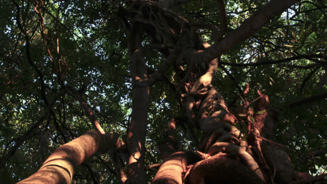 Timelapse shadows shift up forest tree trunk at sunset, Megatha, Myanmar