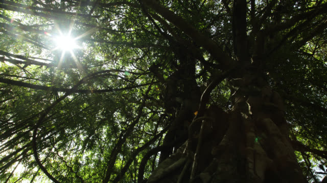 Timelapse sun moves over rainforest fig tree, Megatha, Myanmar
