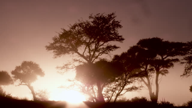Timelapse sun rises behind Acacia trees in desert, South Africa