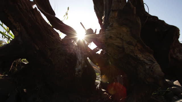 Timelapse sun rises between tree stumps, Salu, Myanmar