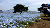 Timelapse video of Nemophila flower field (baby blue eyes), blue flowers in the garden.